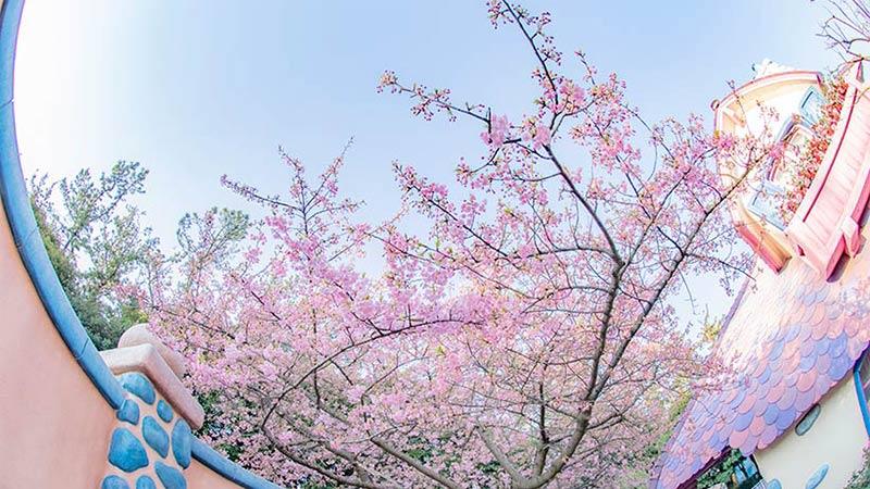 カワヅザクラが咲きました♪のイメージ