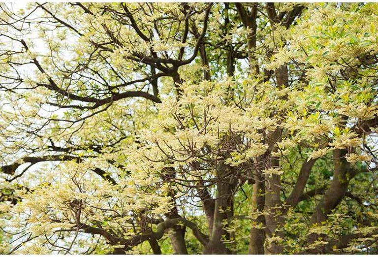 ホルトノキ,花と緑の散策,東京ディズニーランドの画像