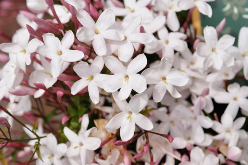 ハゴロモジャスミン:Jasminum polyanthumの画像