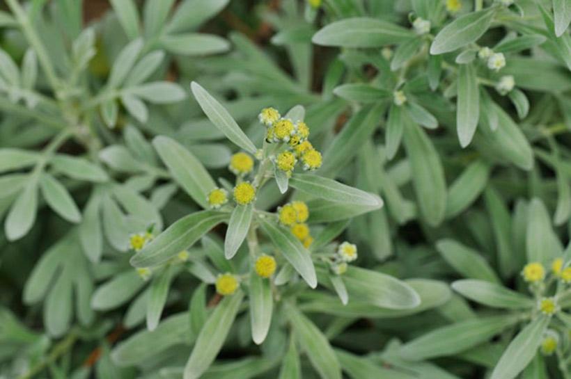 モクビャッコウ:Crossostephium artemisioidesの画像
