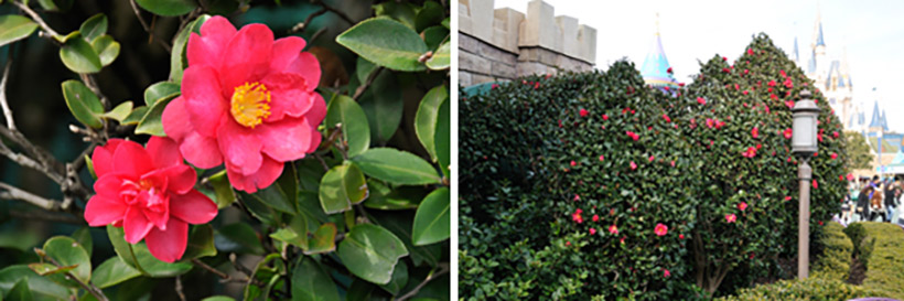 「クイーン・オブ・ハートのバンケットホール」付近に咲くヤブツバキの画像