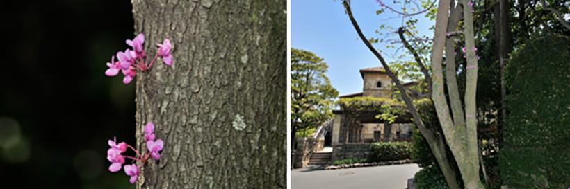 「ザンビーニ・ブラザーズ・リストランテ」裏に咲くアメリカハナズオウの画像