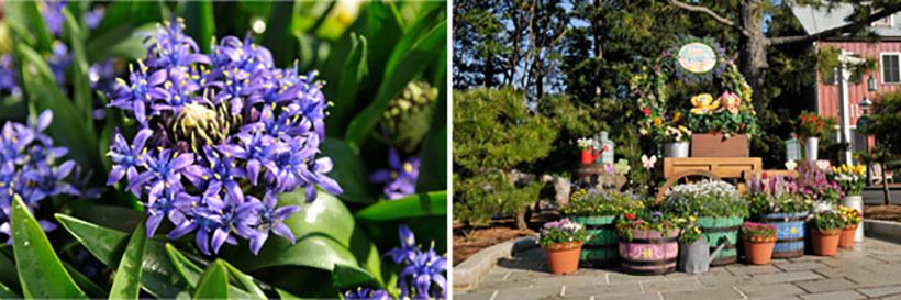 「ケープコッド・クックオフ」付近に咲くシラーの画像