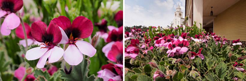 「ケープコッド・クックオフ」付近に咲くパンジーゼラニュームの画像