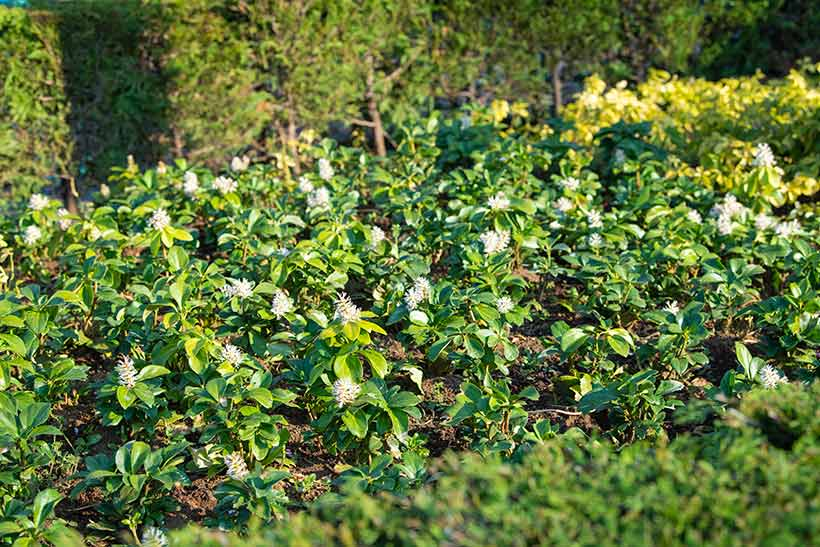 花と緑の散策,東京ディズニーランド,花,癒し,緑,はな,みどり,東京ディズニーリゾート,植物,お散歩,フッキソウ