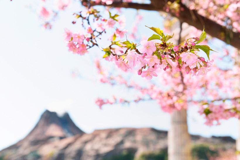 メディテレーニアンハーバーの桜の画像①
