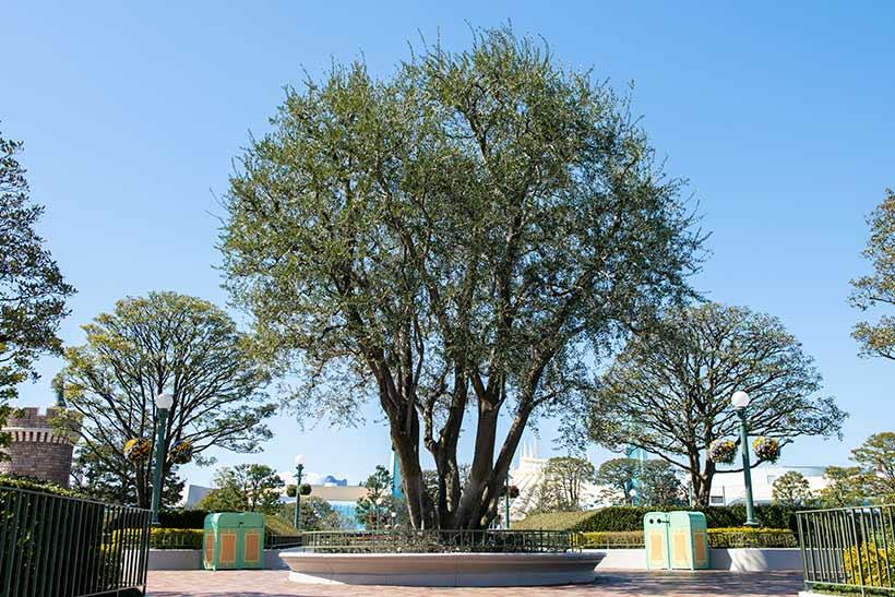 オリーブの樹の画像