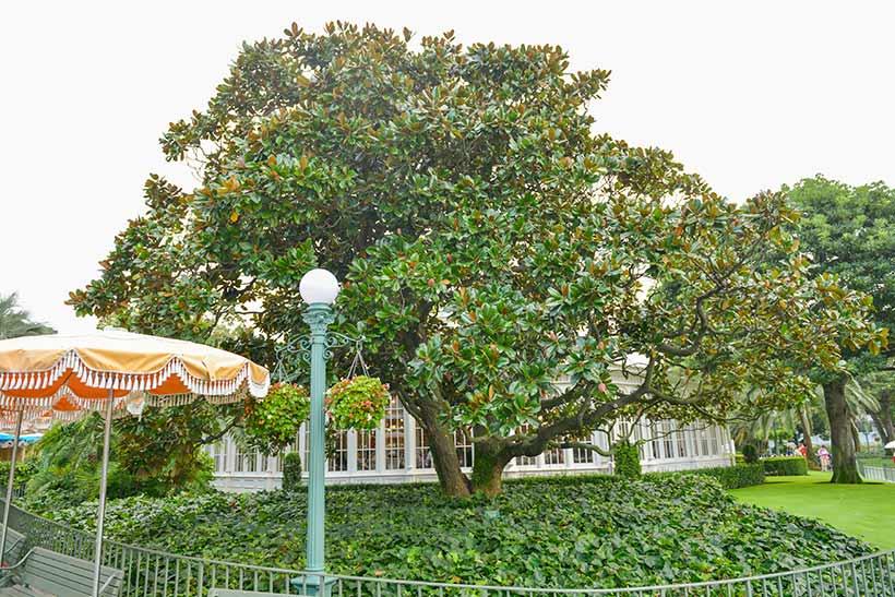 タイサンボクの画像