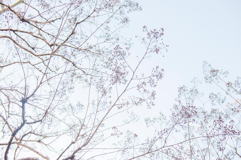 シマサルスベリの画像