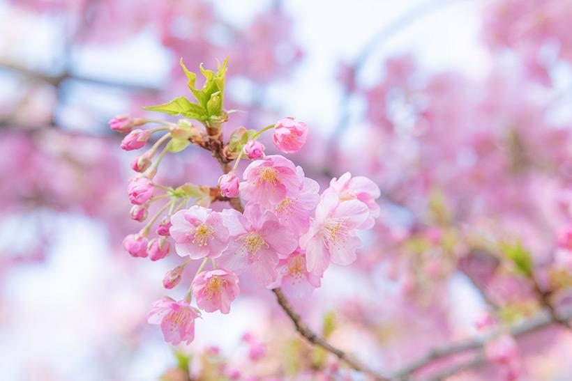 カワヅザクラの花の画像