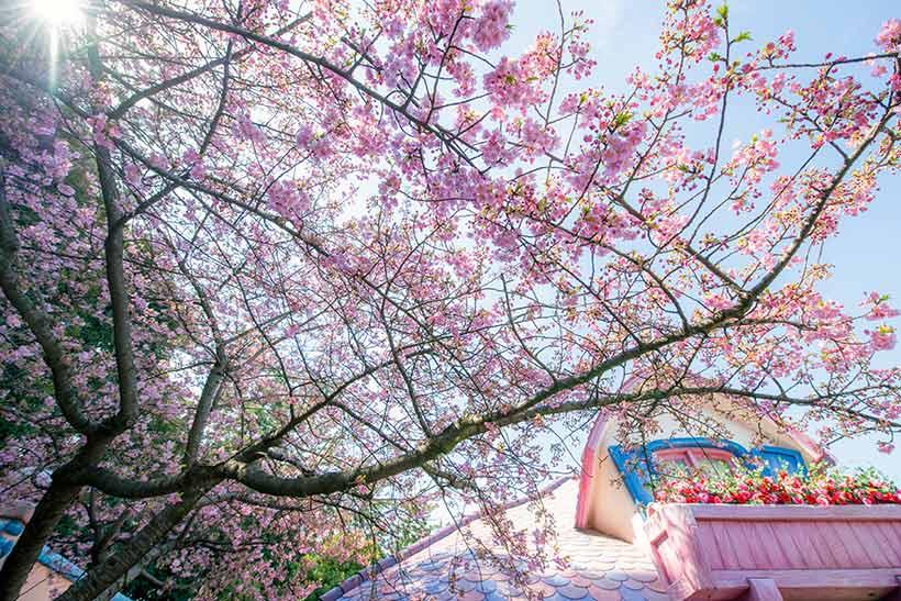 ミニーの家のカワヅザクラの画像