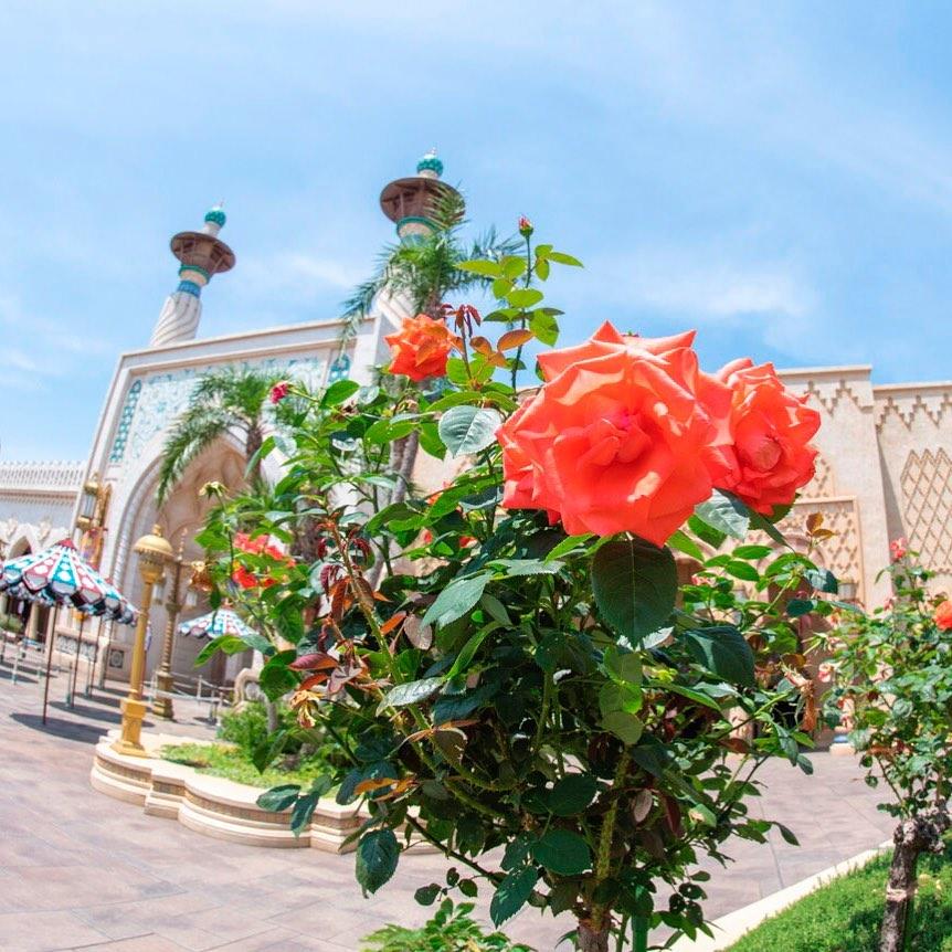 Blooming roses. エキゾチックな世界 #rose #arabiancoast #tokyodisneysea #tokyodisneyresort #バラ...のイメージ