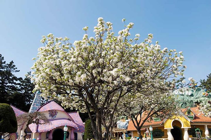 """【淡いピンクの小さい花が満開を迎えました!】赤い実がたくさんなる""""ヒメリンゴ""""。実を観賞するのが有名ですが、じつは花も花見ができるほど見事なんです!ぜひトゥーンタウンに足を運...のイメージ"""