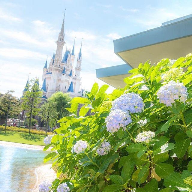 Flowers of the season are in full bloom!この季節に咲く、すてきなお花#hydrangea #cinderellacastle...のイメージ
