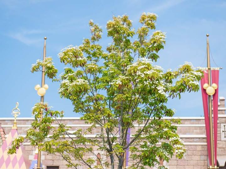 """【寒さに弱い""""常緑ヤマボウシ'月光'""""】2年くらいはほとんど花を付けず、やっと今年これだけ咲いてくれました!花を愛でにぜひファンタジーランドに足を運んでみてくださいね♪今の季...のイメージ"""