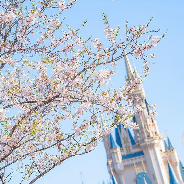 ภาพ Spring is in the air!春めいた一日を♪#tokyodisneyland #tokyodisneyresort #sakura...