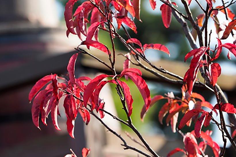 """【花を楽しみながらパークを散策してみませんか?】東京ディズニーリゾートには四季折々に見ごろを迎える植物がたくさん!紅葉した""""スズランノキ""""など、今の季節に東京ディズニーランド...のイメージ"""