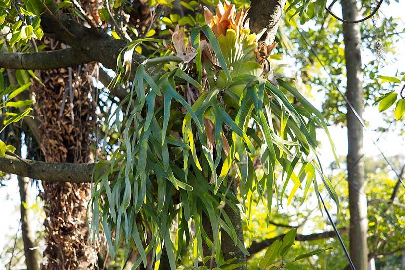 """【花を楽しみながらパークを散策してみませんか?】東京ディズニーリゾートには四季折々に見ごろを迎える植物がたくさん!シダの仲間の""""ビカクシダ""""など、東京ディズニーシーで見ること...のイメージ"""