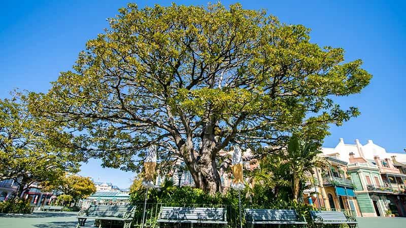 【東京ディズニーリゾートの大きな樹をご紹介♪】東京ディズニーリゾートには、たくさんの樹木が植えられています。今日は東京ディズニーランドの大きな樹を、育成に携わっている担当者の...のイメージ