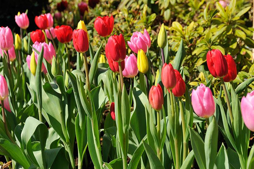 【春の訪れを感じさせるチューリップ】...のイメージ